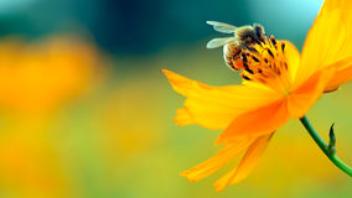 Sommerblomst bestøvet af insekt